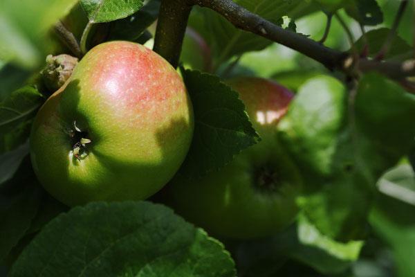 Am Apfelbaum; Foto: Sandra Borchers