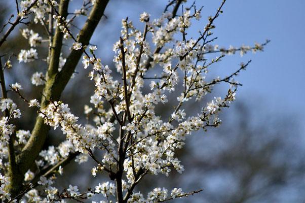 Einer der ersten blühenden Bäume in der Anlage Foto: Sandra Borchers