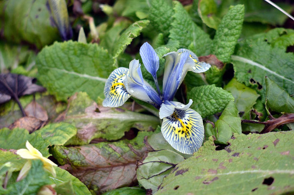 Eine Iris?! Im Februar?! Foto: Sandra Borchers