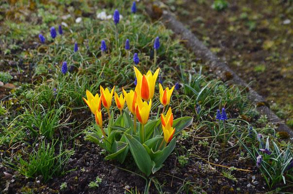 Die ersten Tulpen zeigen sich schon! Foto: Sandra Borchers