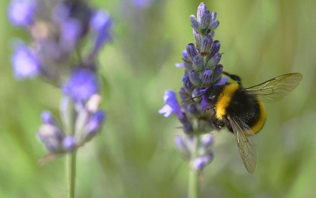Hummel am Lavendel II;  Foto: Sandra Borchers