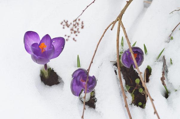 Die Krokusse kämpfen erfolgreich gegen den Schnee! Foto: Sandra Borchers