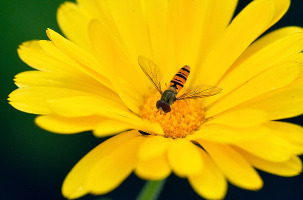 Schwebfliege auf einer Ringelblume Foto: Sandra Borchers