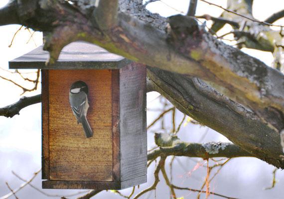 Kohlmeise beim Nestbau Foto: Sandra Borchers
