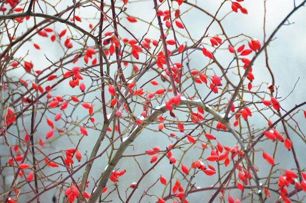Weithin sichtbar und reichhaltige Nahrung: die Hagebutten einer Wildrose Foto: Sandra Borchers