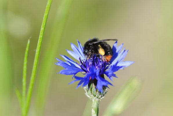Die Kornblume wird nicht nur von Hummeln besucht...Foto: Sandra Borchers