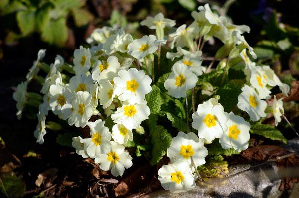 Auch die Primeln stehen schon in voller Blüte. Foto: Sandra Borchers