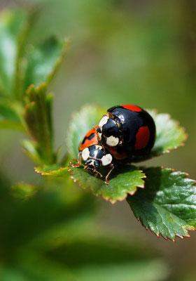 Diese zwei gibt's deutlich häufiger: Marienkäfer sind im Garten immer gern gesehen! Foto: Sandra Borchers