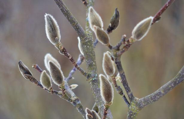 Ob die Stern-Magnolie dieses Jahr wohl noch blüht? Foto: Sandra Borchers