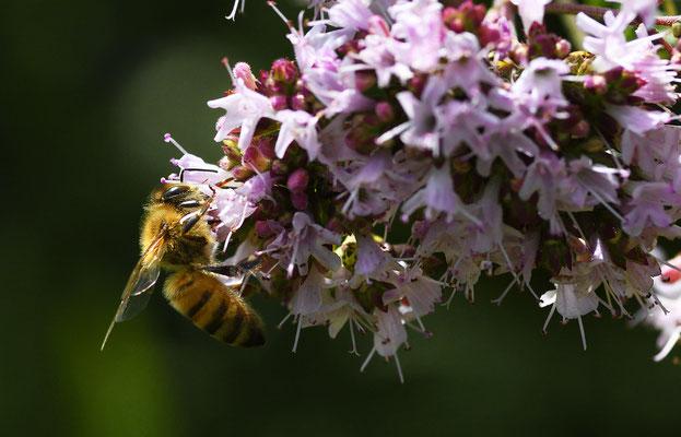 Biene im rosa blühenden Oregano; Foto: Sandra Borchers
