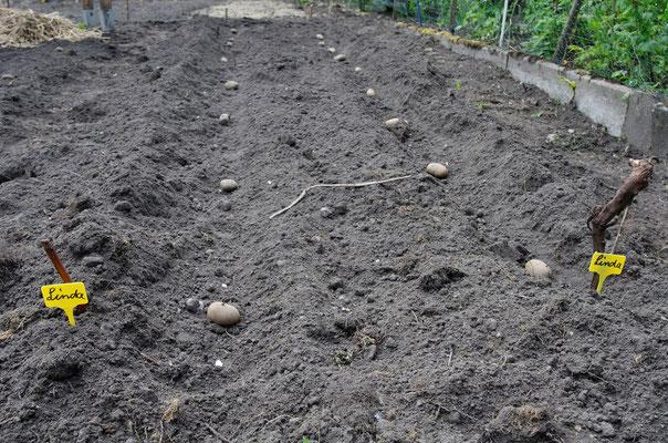 Vorher: Die Kartoffeln werden einfach AUF die Erde gelegt...Foto: Sandra Borchers