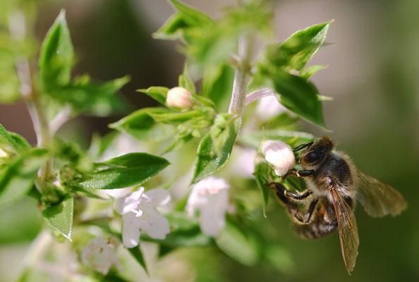 Biene am Bohnenkraut II; Foto: Sandra Borchers