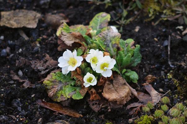 Primeln blühen schon in vielen Gärten. Foto: Sandra Borchers
