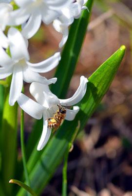 Eine Biene an einer Hyazinthe. Foto: Sandra Borchers