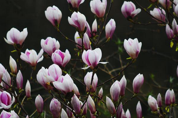 Magnolien - Foto: Sandra Borchers