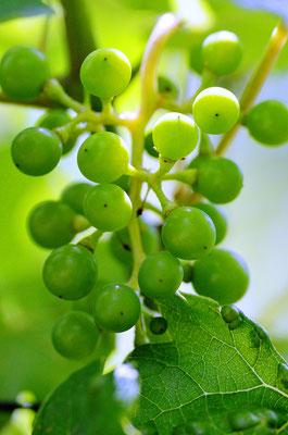 Noch sehr kleine Weintrauben Foto: Sandra Borchers