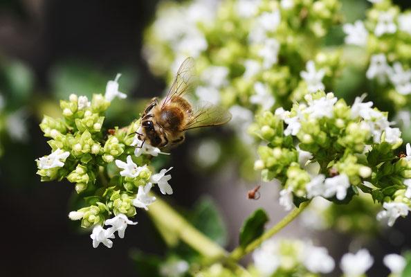 Biene im weiß blühenden Oregano;  Foto: Sandra Borchers