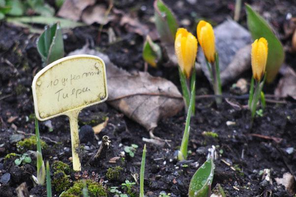 Die Tulpen sind zwar noch nicht da, aber die Krokusse halten die Stellung! Foto: Sandra Borchers