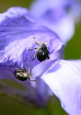 Rüsselkäfer auf der Iris Foto: Sandra Borchers