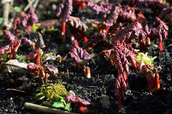 Noch sind sie klein und süß, schon bald werden sie RIESIG sein - die Rhabarber-Blätter. Foto: Sandra Borchers