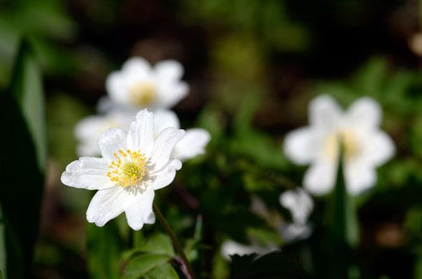 Nicht nur im Wald, auch in unseren Gärten findet man Windröschen! Foto: Sandra Borchers
