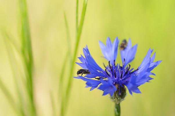 ...und diverse andere Insekten tummeln sich hier. Foto: Sandra Borchers
