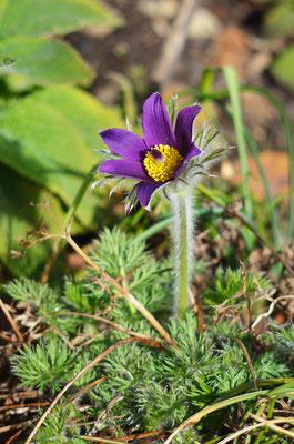 Die erste Blüte der Kuhschelle. Foto: Sandra Borchers