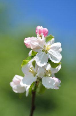 Die meisten Obstbäume sind mit der Blüte schon durch, vereinzelt blühen aber noch späte Apfelsorten. Foto: Sandra Borchers