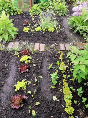 Ein Beispiel für eine Mischkultur: Salat zwischen den Mais-Pflänzchen, Rote-Bete neben Salat. Foto: Sandra Borchers