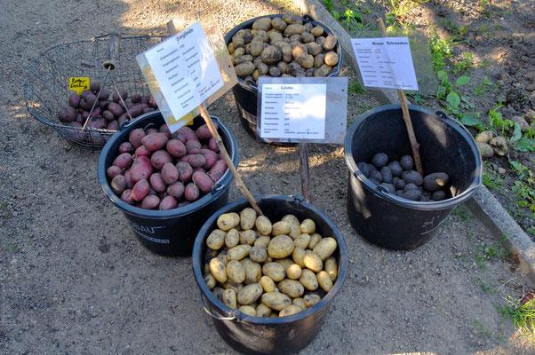 Schöne Ernte - das ist etwas weniger als die Hälte des gesamen Ackers. - Foto: Sandra Borchers