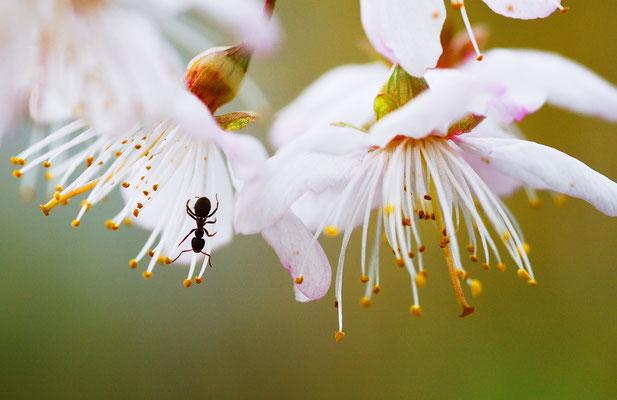 Ameise an Zierkirsch (?)-Blüten - Foto: Sandra Borchers
