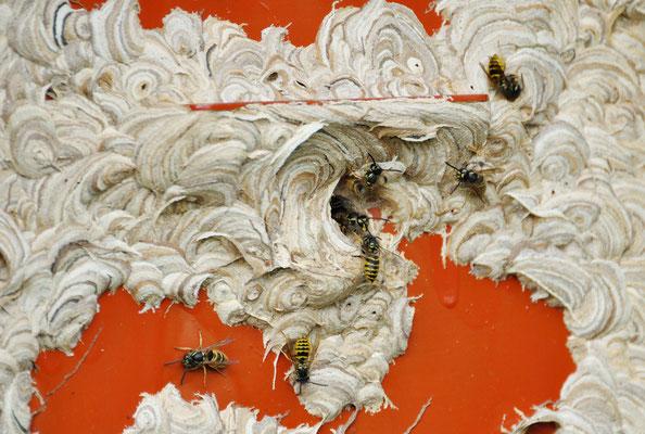 Und so sieht's aus, wenn die Wespen anfangen, zu bauen! Aufnahme vom 16.09.2012 Foto: Sandra Borchers