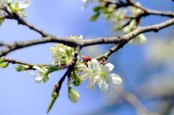 Die Marienkäfer haben am Zwetschenbaum einiges zu tun...Foto: Sandra Borchers
