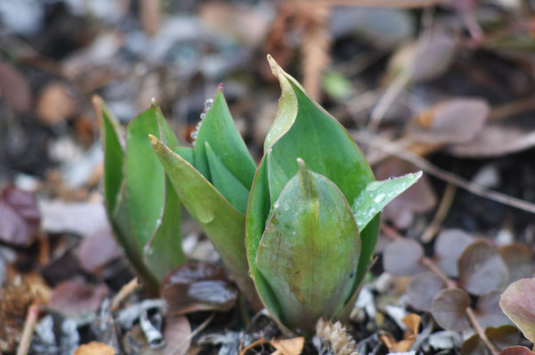 Ein Hauch von Tulpe; Foto: Sandra Borchers