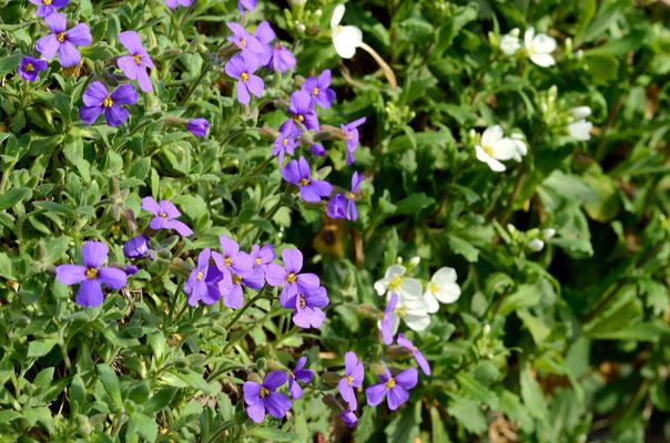 Sogar die Blaukissen blühen schon! Foto: Sandra Borchers
