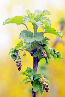 Nein, keine Weintrauben, sondern rote Johannisbeeren, kurz vor der Blüte. Foto: Sandra Borchers