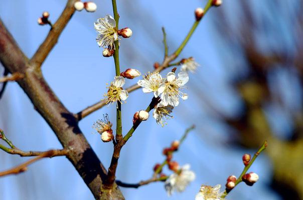 Dieser Baum hat es wirklich sehr eilig mit der zeitigen Blüte...! Foto: Sandra Borchers