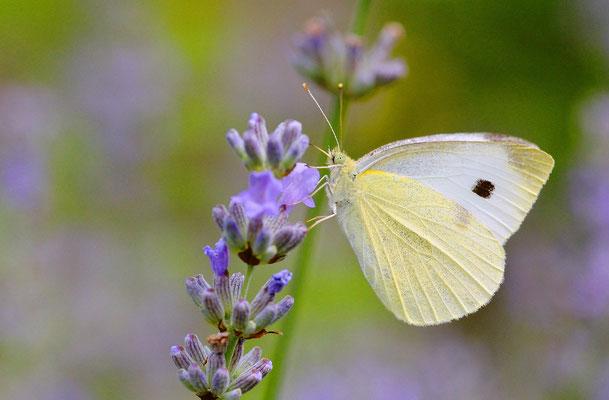 Am Kohl nicht gewollt, aber am Lavendel schön anzusehen: der Kohlweißling. Foto: Sandra Borchers