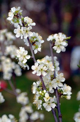 Ein sehr früh blühender Obstbaum...Foto: Sandra Borchers