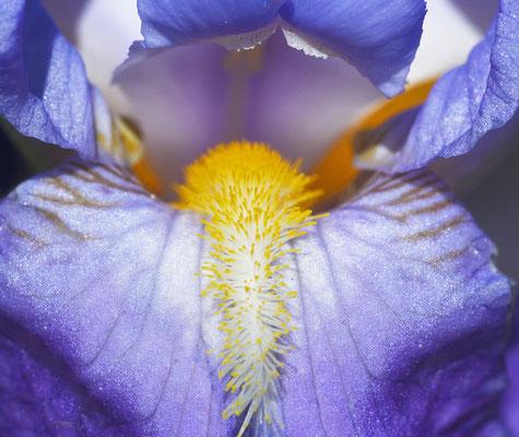 Schwertlilie. Foto: Sandra Borchers