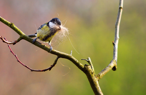 Kohlmeise beim Nestbau - Foto: Sandra Borchers
