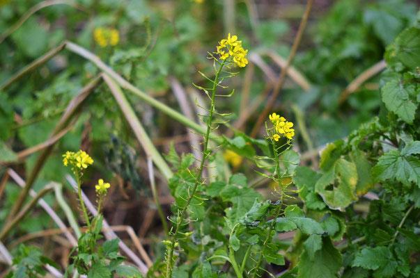 Gelbsenf, im Spätsommer als Gründüngung gesät, sollte eigentlich im Winter verfrieren - aber im Februar blühend ist auch schön. Foto: Sandra Borchers