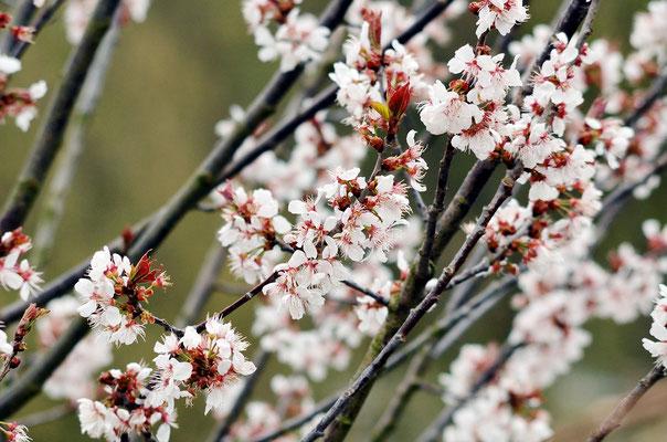 Einige Bäume & Gehölzer stehen schon in voller Blüte...Foto: Sandra Borchers