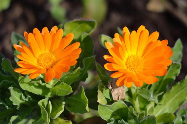 Einige Ringelblumen haben den Winter ebenfalls überstanden und blühen daher schon...Foto: Sandra Borchers