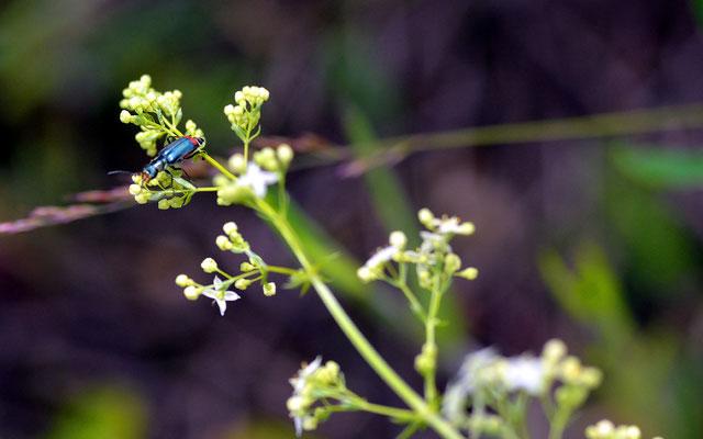 ...kleiner Käfer (Zweifleckiger Zipfelkäfer) gesichtet...Foto: Sandra Borchers
