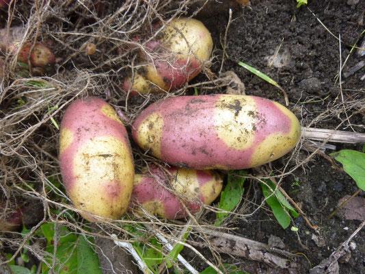 Nicht nur bei der Ernte, auch beim Verzehr ein Genuß: Mayan Twilight, eine zweifarbige Kartoffel mit außergewöhnlichem Geschmack. Foto: Dr. Vicky Temperton