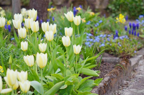 Sogar einige Tulpen blühen schon! Foto: Sandra Borchers