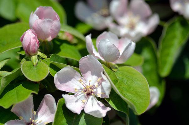 Die Quitte blüht relativ spät, außerdem kommen hier vor den Blüten zunächst die Blätter. Foto: Sandra Borchers