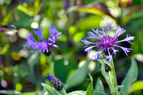 Berg-Flockenblume - Foto: Sandra Borchers