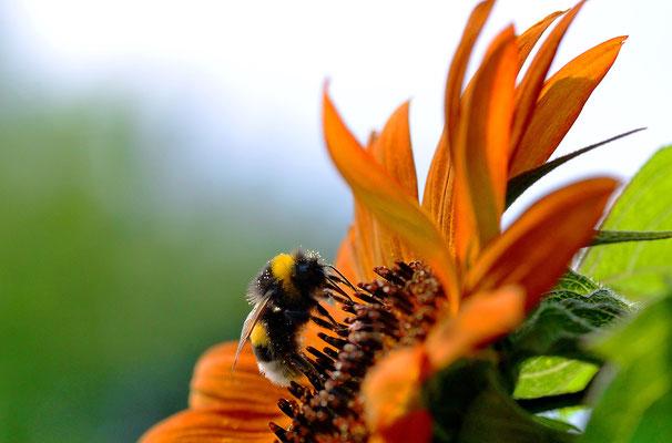 Die Hummeln haben die ersten Sonnenblumen entdeckt! Foto: Sandra Borchers